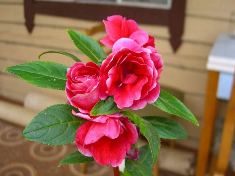 Бальзамин садовый описание цветка и его выращивания как сохранить зимой