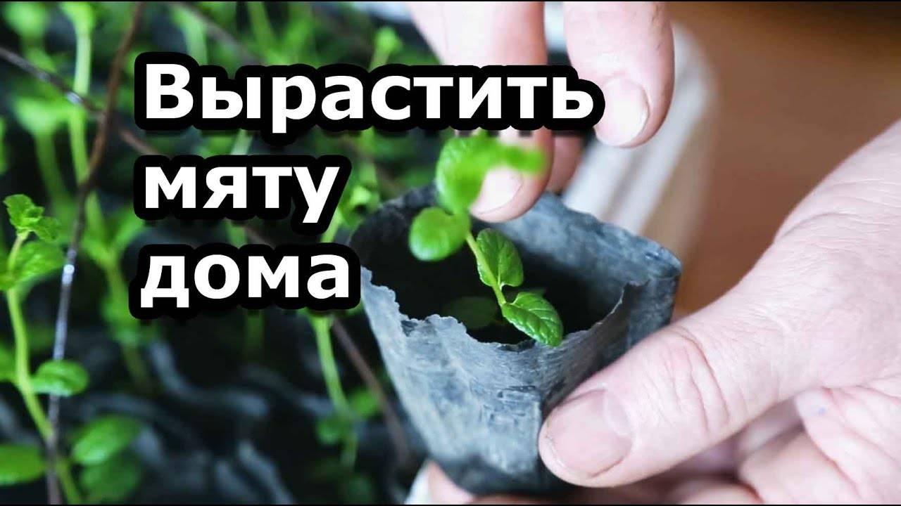 Как рассадить мяту