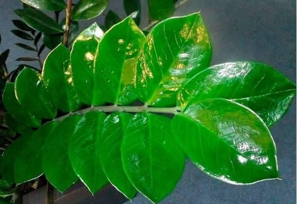 Почему желтеет долларовое дерево и способы его лечения