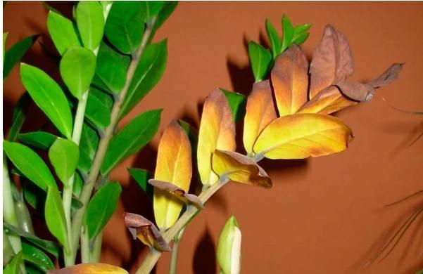 Почему желтеет замиокулькас: причины, что делать и как спасти долларовое дерево, если на нем желтеют листья