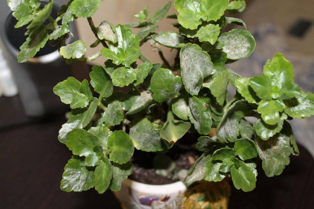 Почему у каланхоэ сохнут и опадают листья