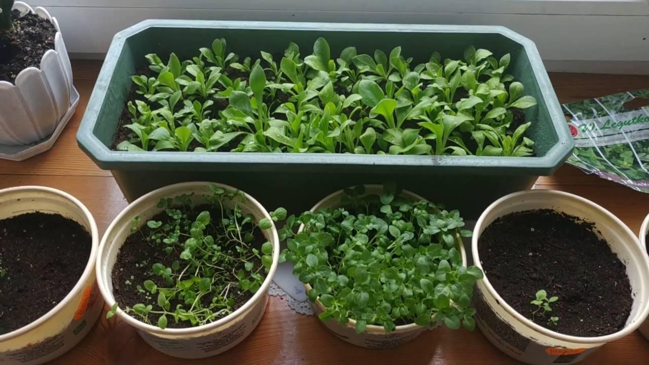Как вырастить мяту на подоконнике дома в горшке из семян и ростков