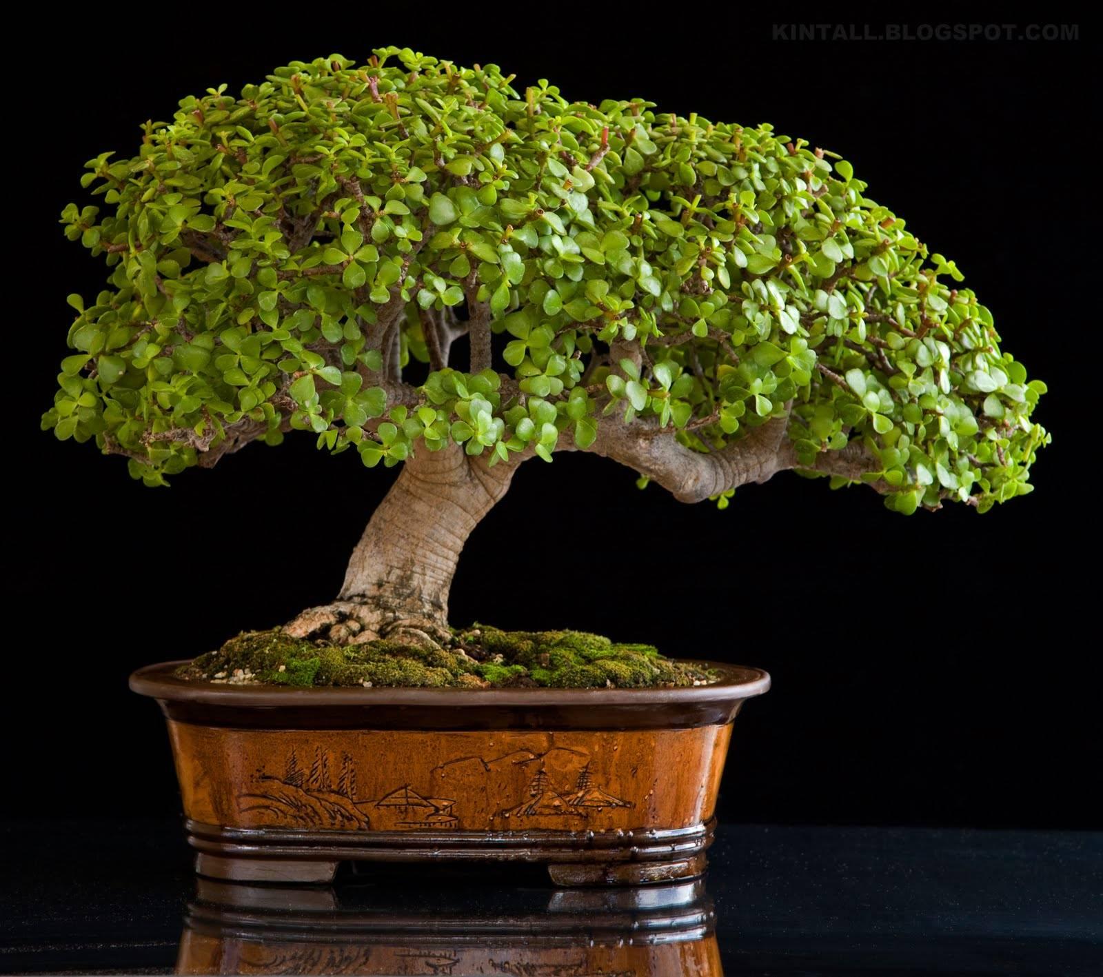 Что нужно сделать чтобы денежное дерево зацвело