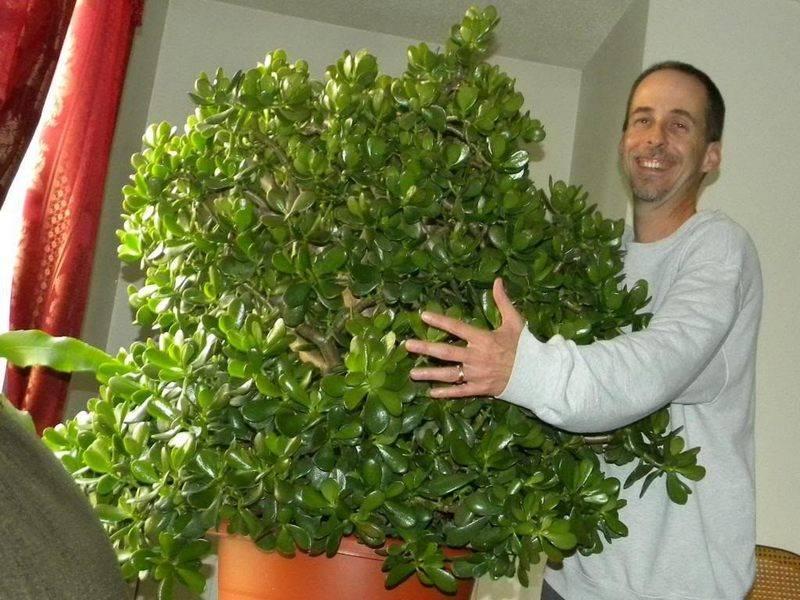 Денежное дерево – можно ли держать дома: приметы и суеверия, можно ли дарить, где должно стоять, как садить для привлечения денег