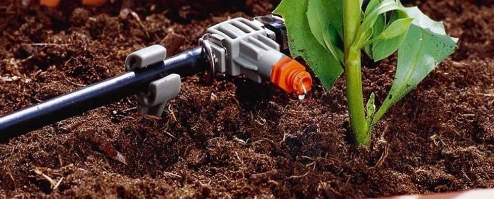 Эустома выращивание и уход в открытом грунте
