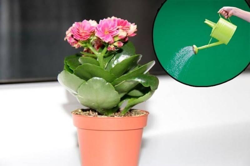 Как и когда обрезать каланхоэ в домашних условиях: как прищипывать после цветения, дальнейший уход, фото