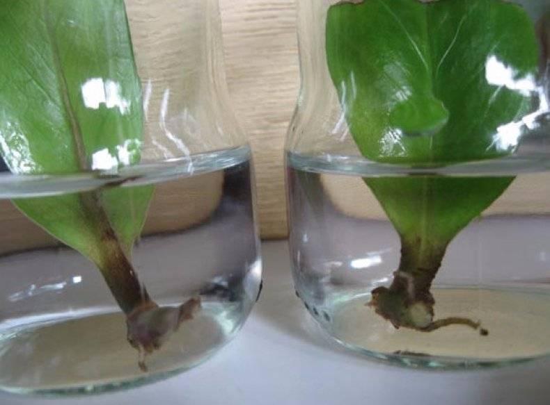 Замиокулькас как размножать в домашних условиях