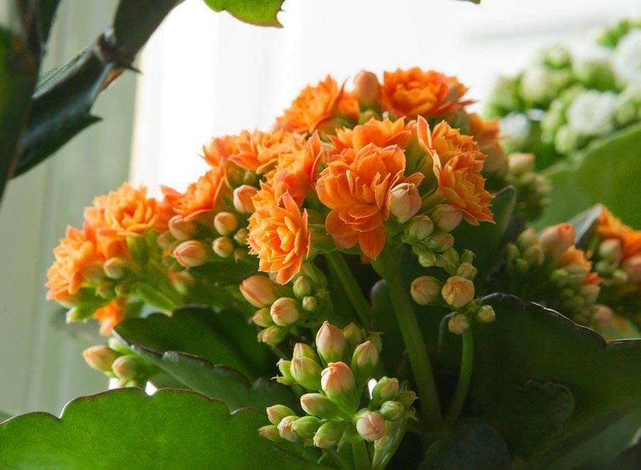 Картинки комнатные цветы каланхоэ