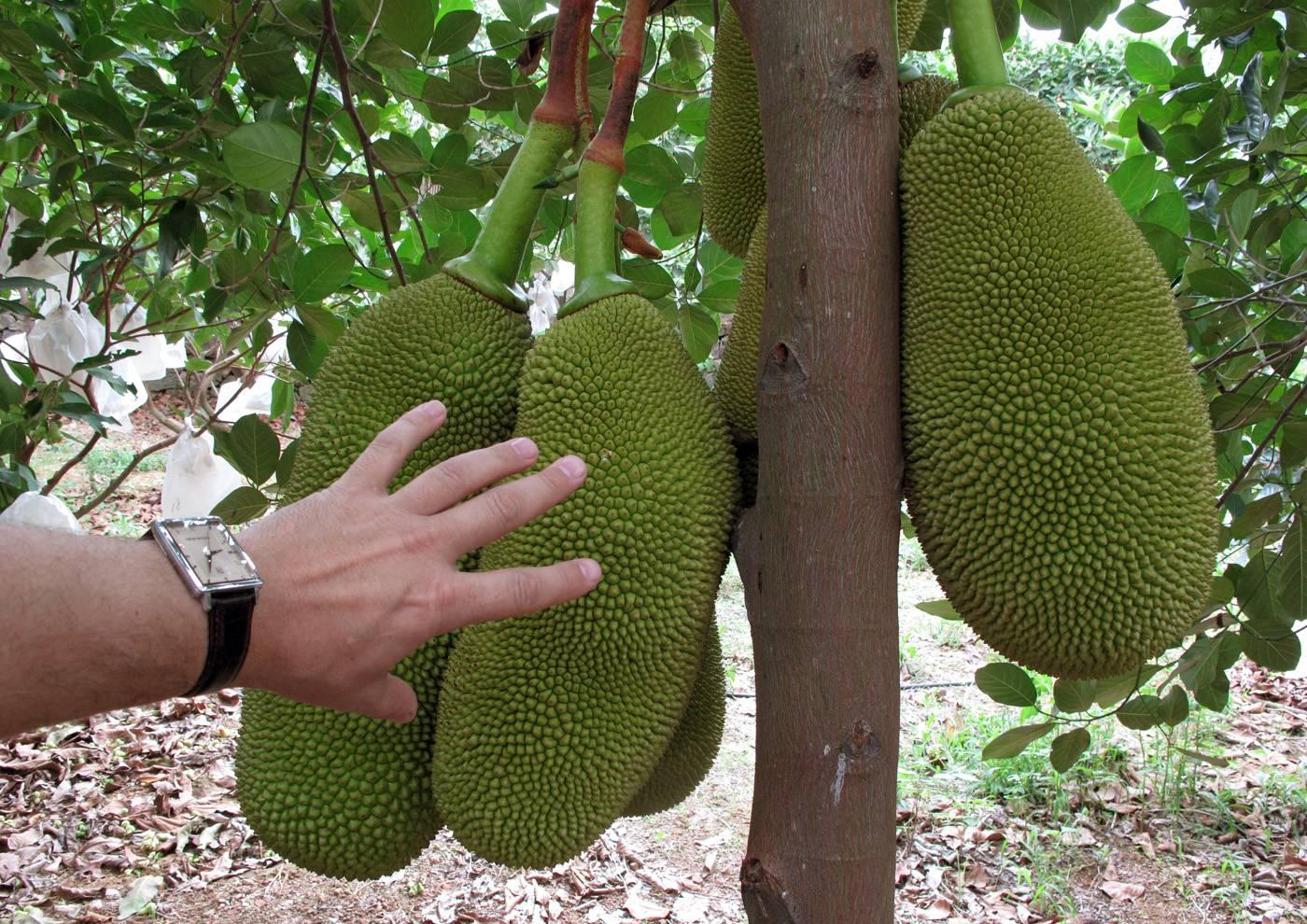 Плоды хлебного дерева на вкус