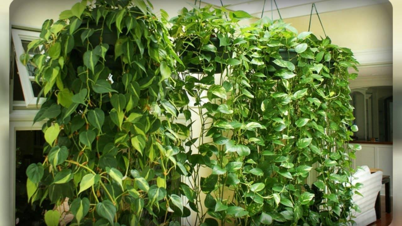 Комнатная лиана сциндапсус: виды и сорта, уход и размножение черенками