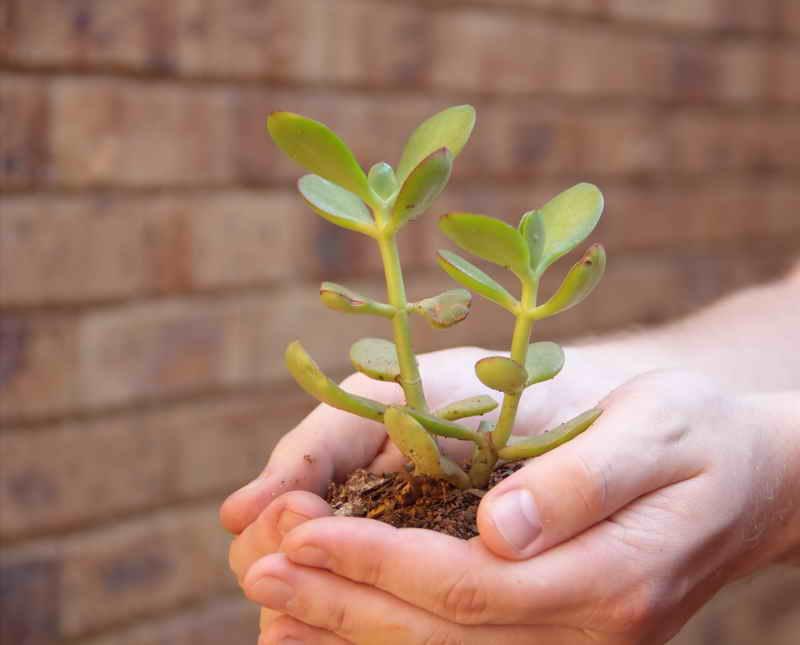 Денежное дерево почему ствол мягкий