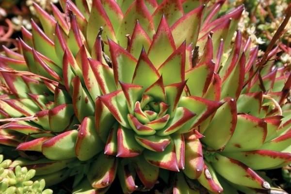 Эхеверия уход в домашних условиях и размножение
