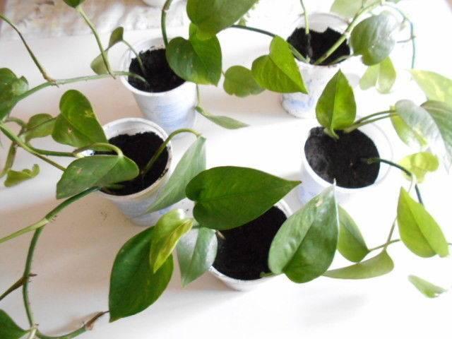 Сциндапсус виды и уход в домашних условиях способы размножения лианы