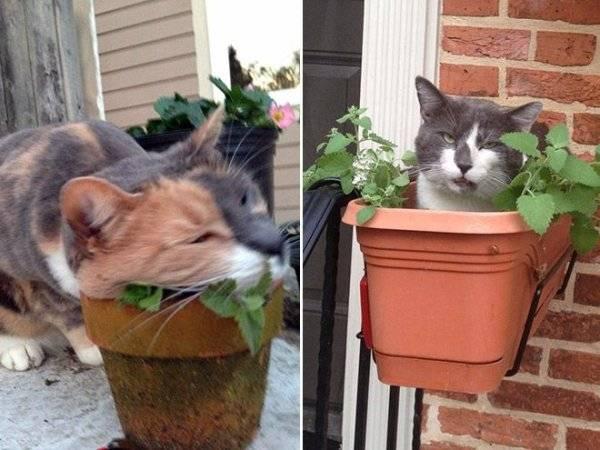 Как выглядит кошачья мята