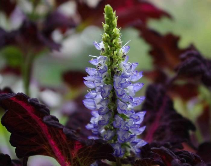 Крапивка декоративная садовая