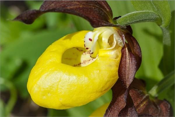 Венерин башмачок уход посадка и уход в открытом грунте