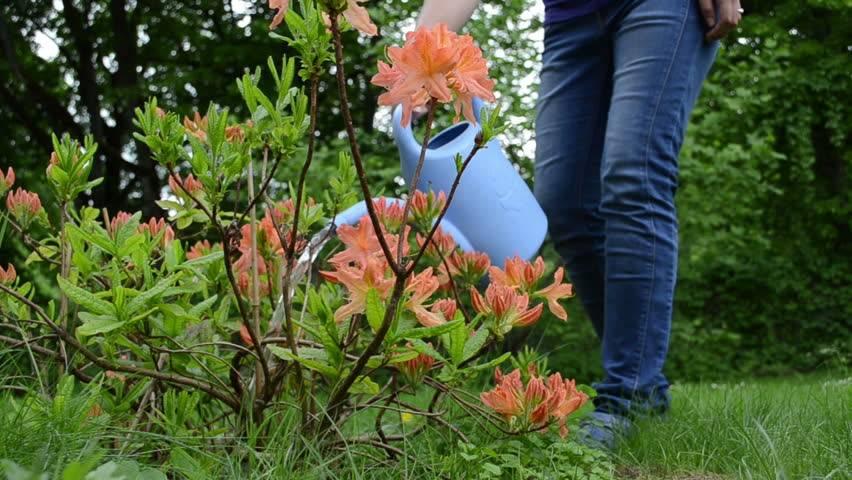 Подкормка рододендронов во время и после цветения: какие удобрение выбрать