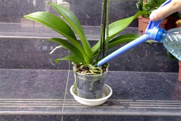 Башмачок настоящий орхидные
