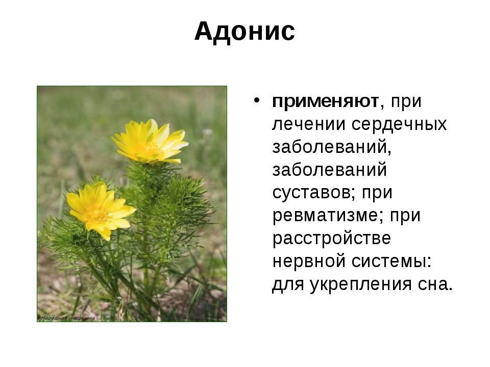 Адонис весенний травянистые растения для открытого грунта