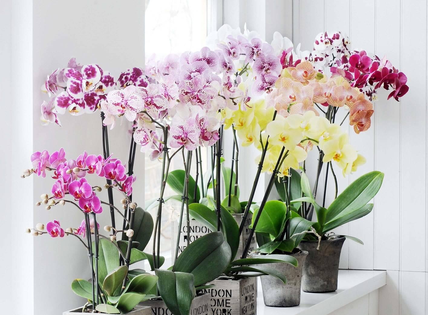Сухие пятна на листьях орхидеи