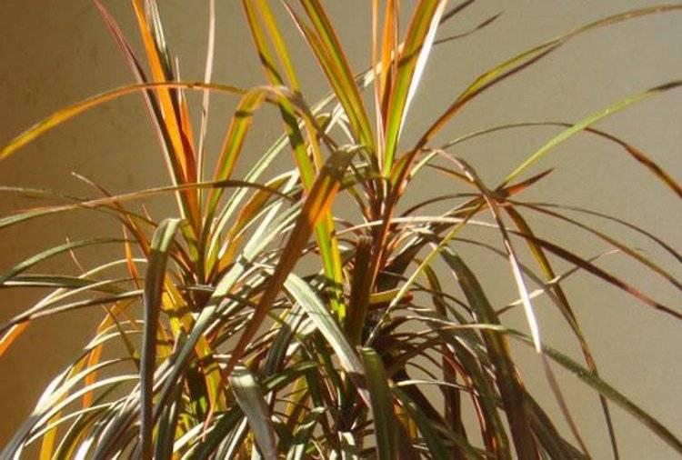 У драцены желтеют кончики листьев что делать