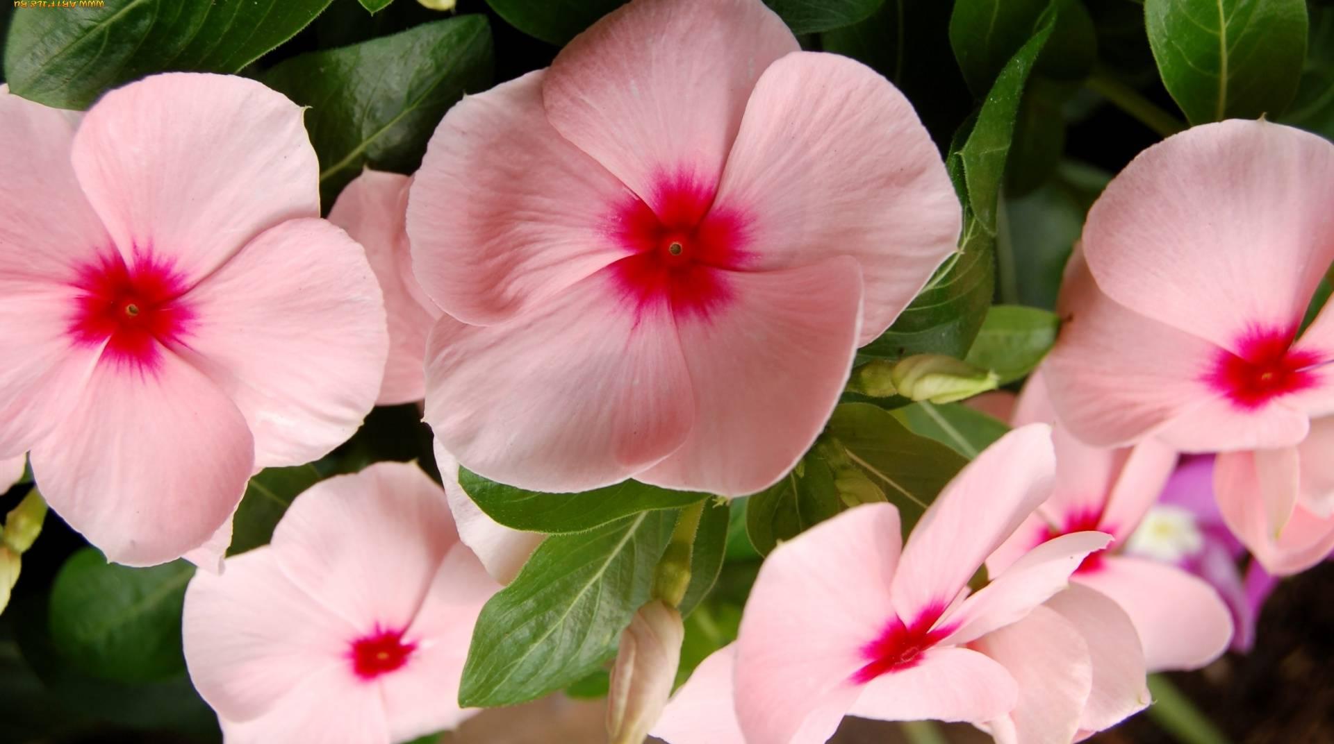 Катарантус — уход и выращивание в домашних условиях