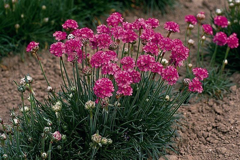 Армерия когда цветет