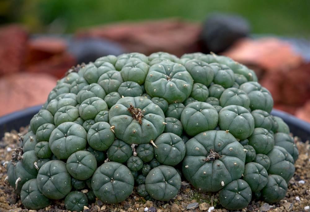 примеру, пейотный кактус фото очень