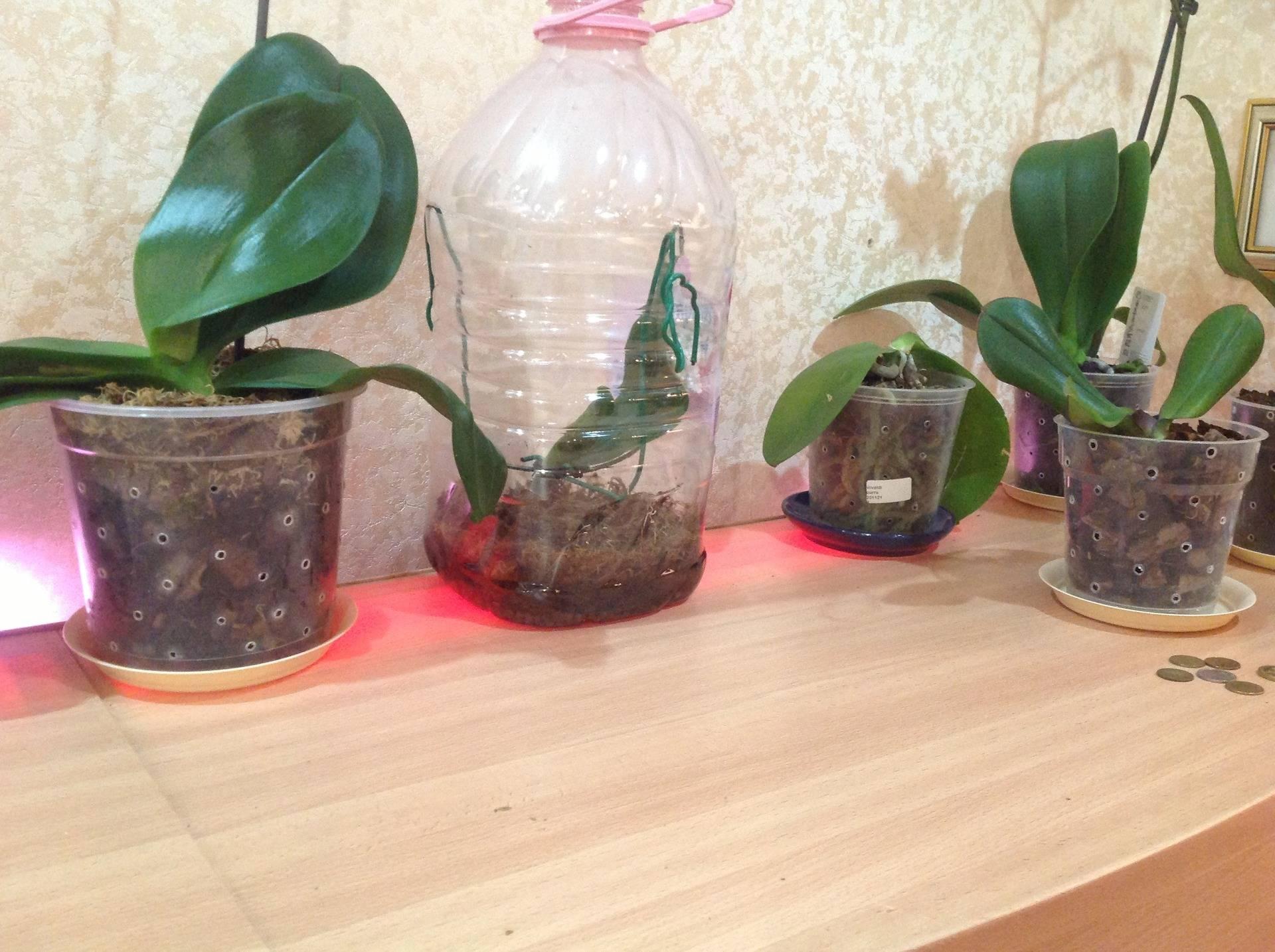 Если орхидея дала отросток на стебле, что делать? Как пересадить детку: пошаговая инструкция