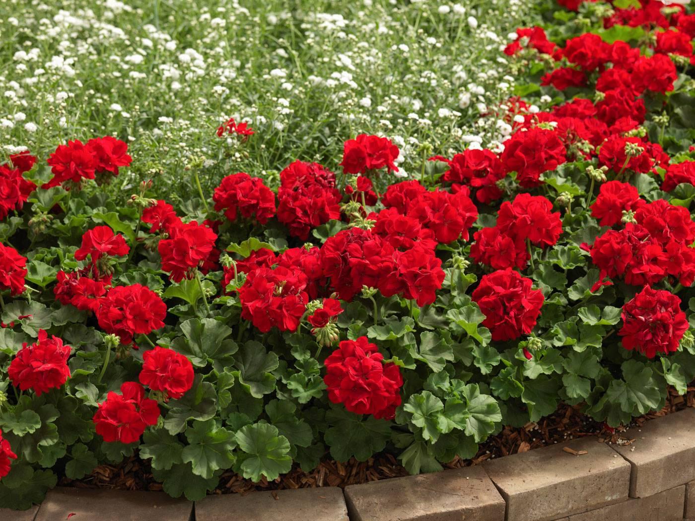 Герань садовая — как сажать на улице