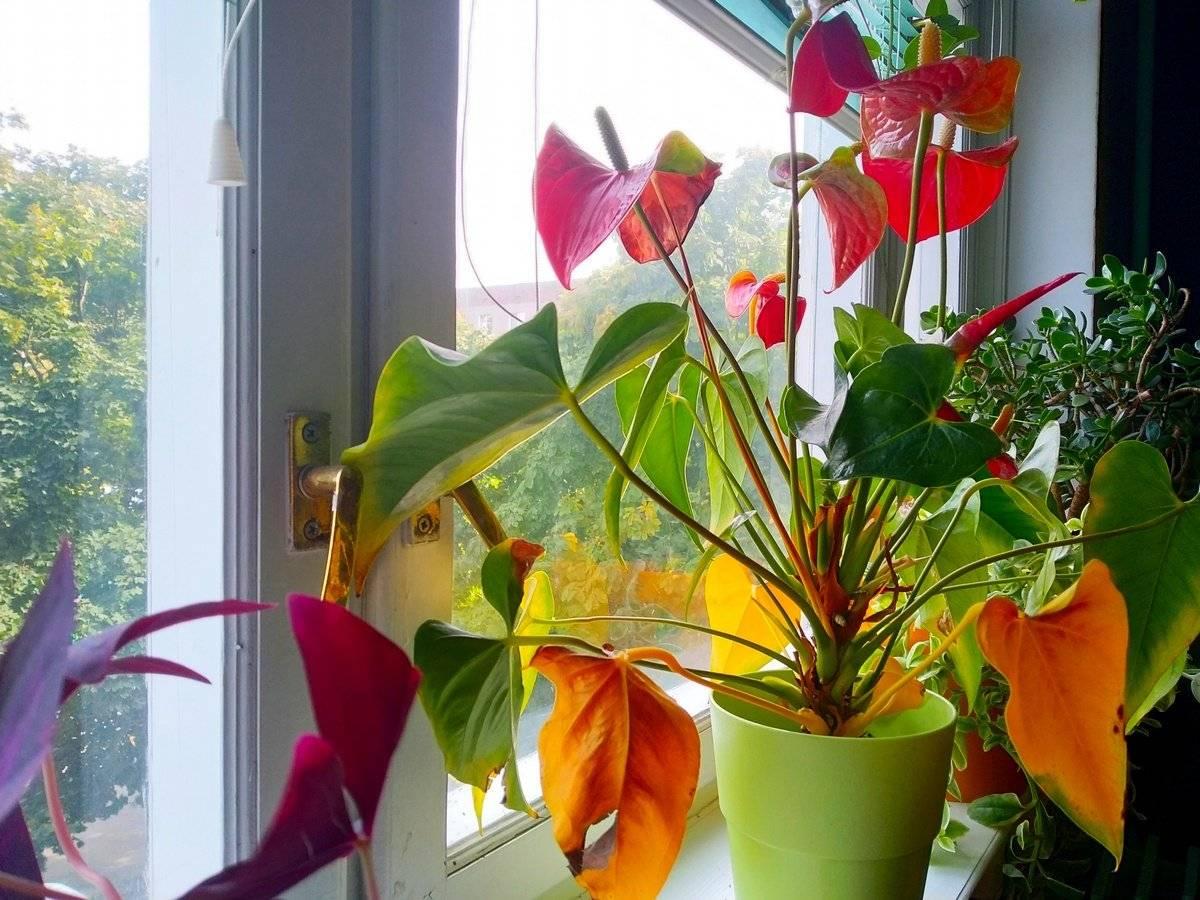 Цветок антуриум почему желтеют листья