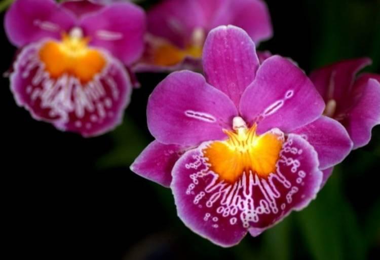 Орхидея Мильтония: особенности и уход в домашних условиях