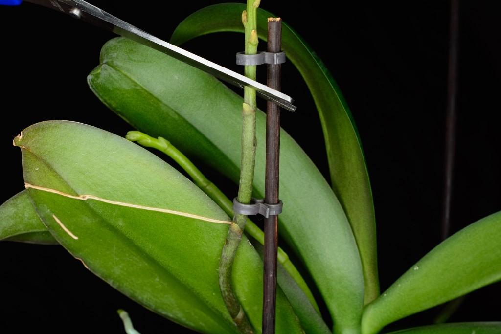 Обрезать цветонос у орхидеи или нет