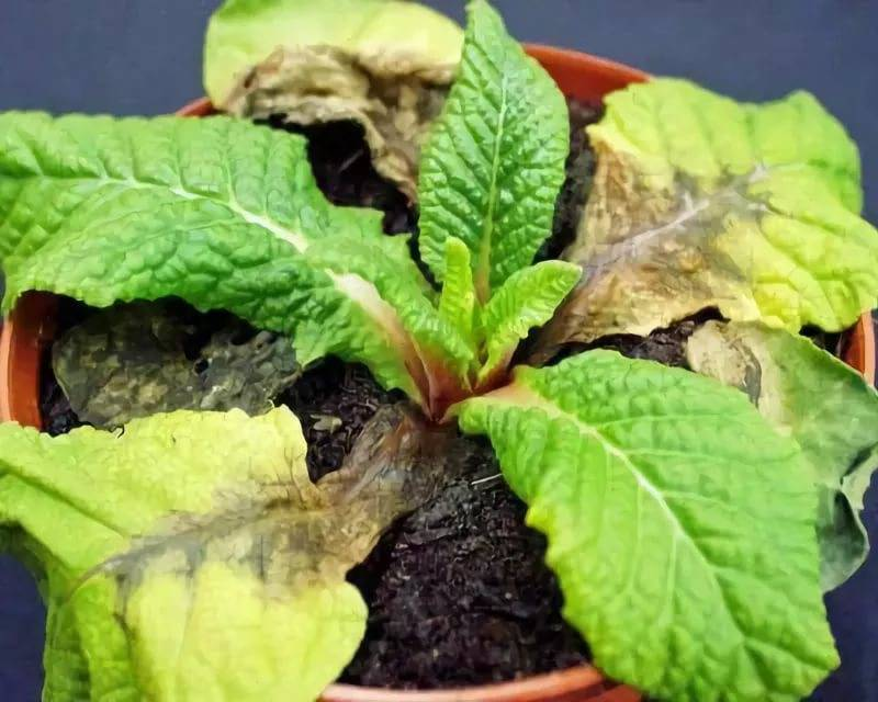 Примула обконика уход в домашних условиях. Цветок примула комнатная уход в домашних условиях выращивание из семян фото сортов