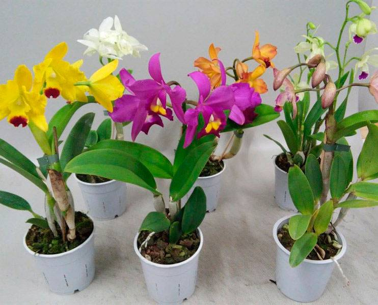 Виды орхидей - 165 фото орхидей с названиями и видео инструкция по выращиванию комнатных и садовых орхидей