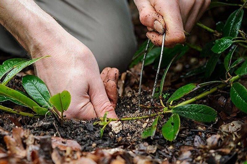 Делением куста размножаются