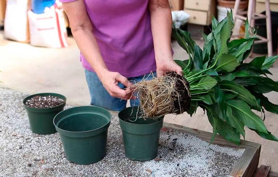 В какой горшок лучше посадить спатифиллум