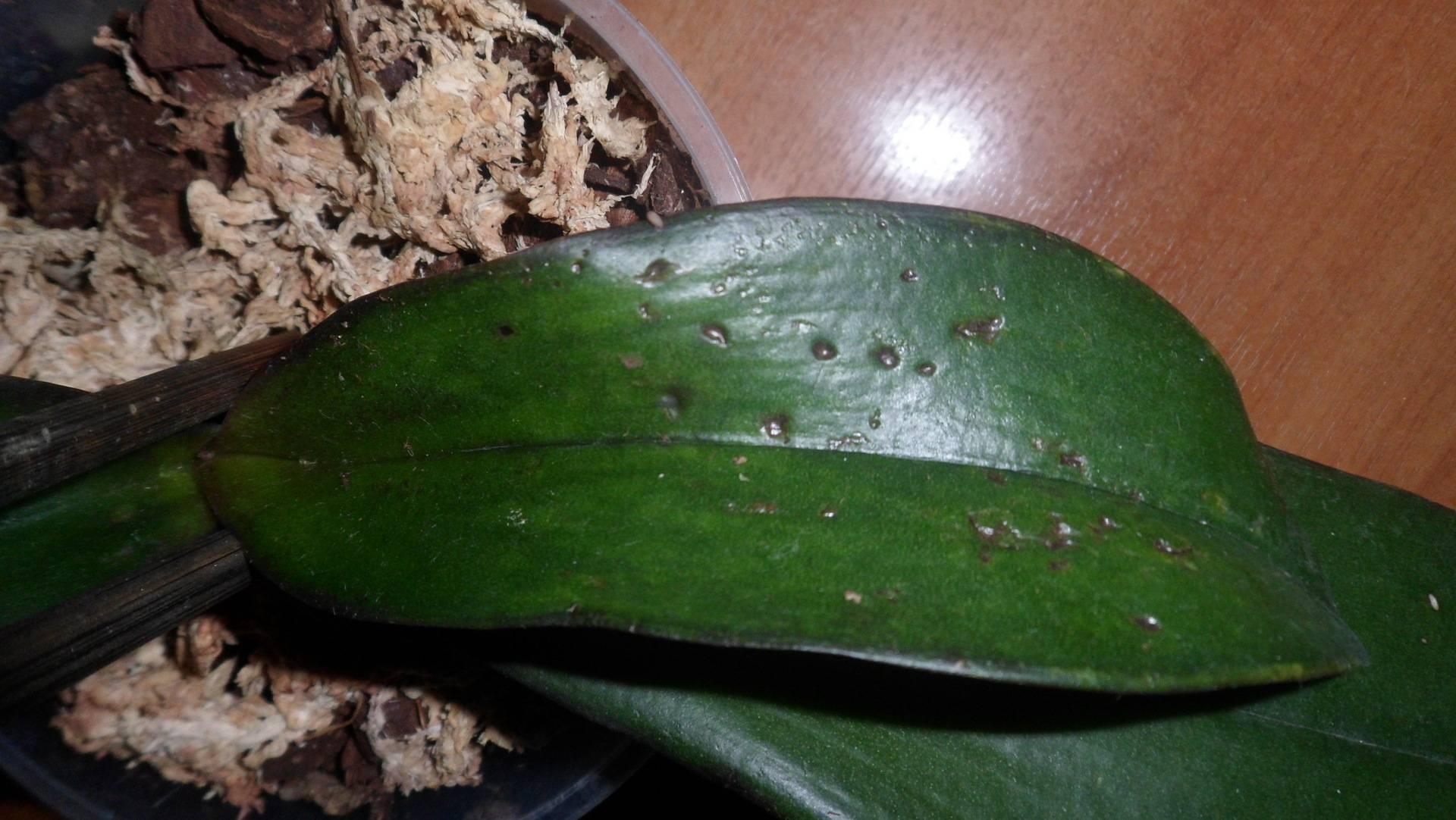 Желтеют листья у орхидеи - почему и что делать в этой ситуации?