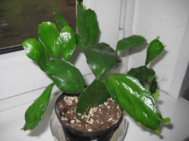 Опунция 49 фото что это такое Описание видов кактуса опунции мелковолосистая и индийская уход в домашних условиях