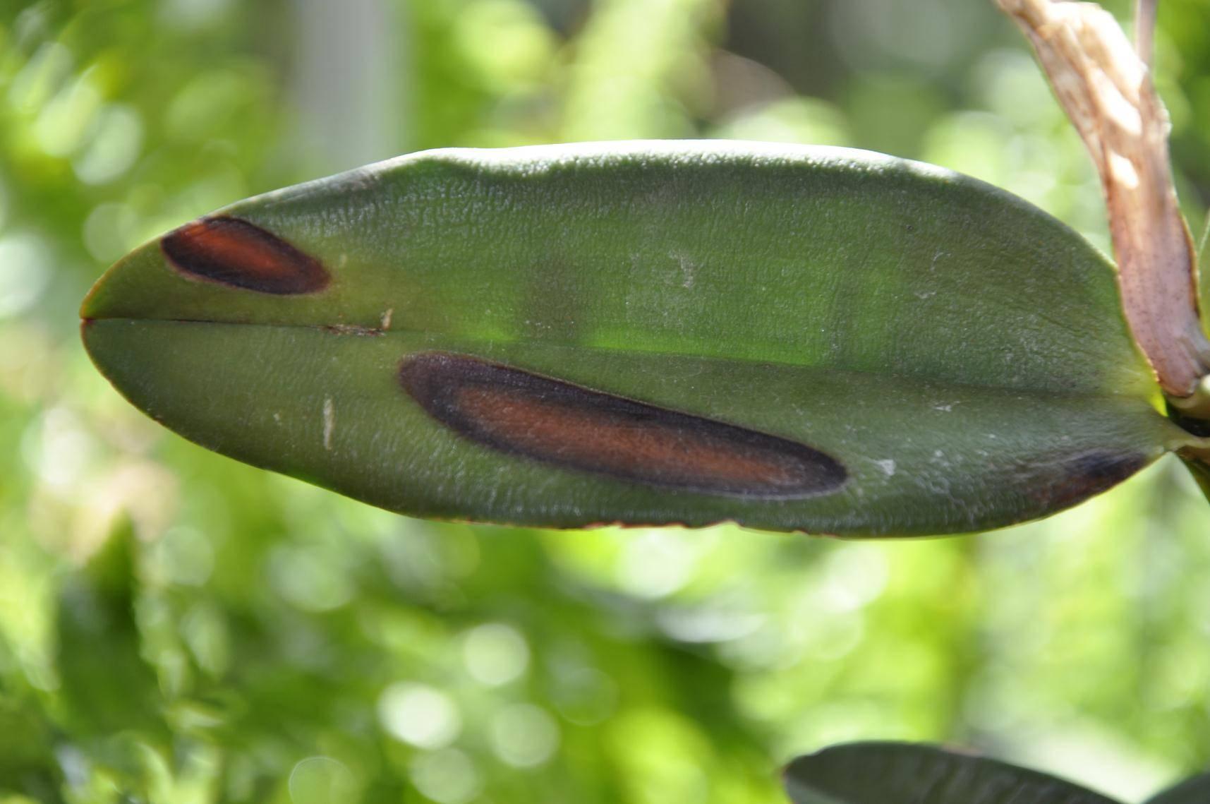 Болезни листьев орхидей: фото и советы специалистов о том, как лечить возможные проблемы