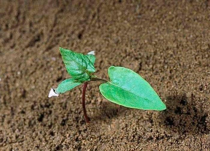 Вьюнок: посадка и уход в открытом грунте, выращивание из семян