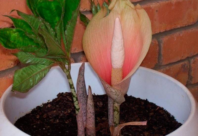 Аморфофаллус комнатное растение