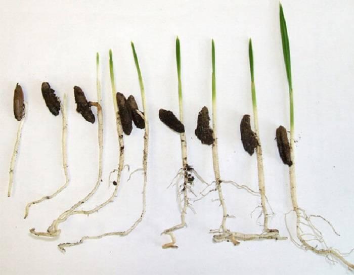 Как выращивать финики из косточки в домашних условиях?