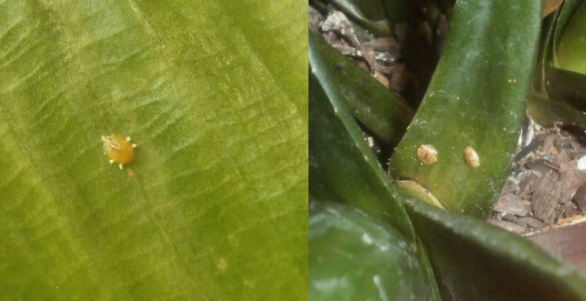 Антуриум почему сохнут листья: уход в домашних условиях