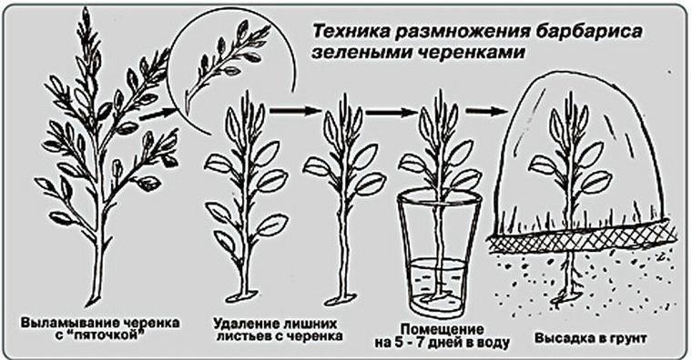 Барбарис «Атропурпуреа нана» (20 фото): описание барбариса Тунберга Atropurpurea Nana, использование в ландшафтном дизайне, посадка и уход