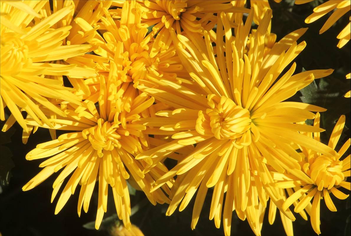 Хризантемы садовые в горшках