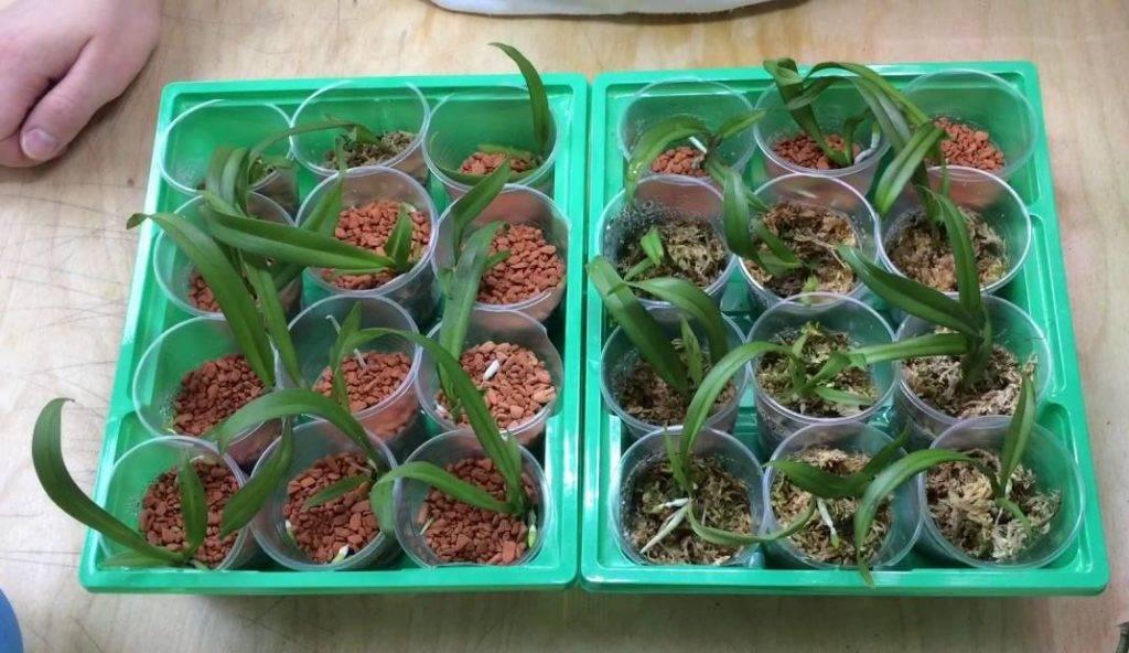 Как вырастить орхидеи из семян? 20 фото Можно ли ее выращивать в домашних условиях? Как выглядят семена и как их сажать?