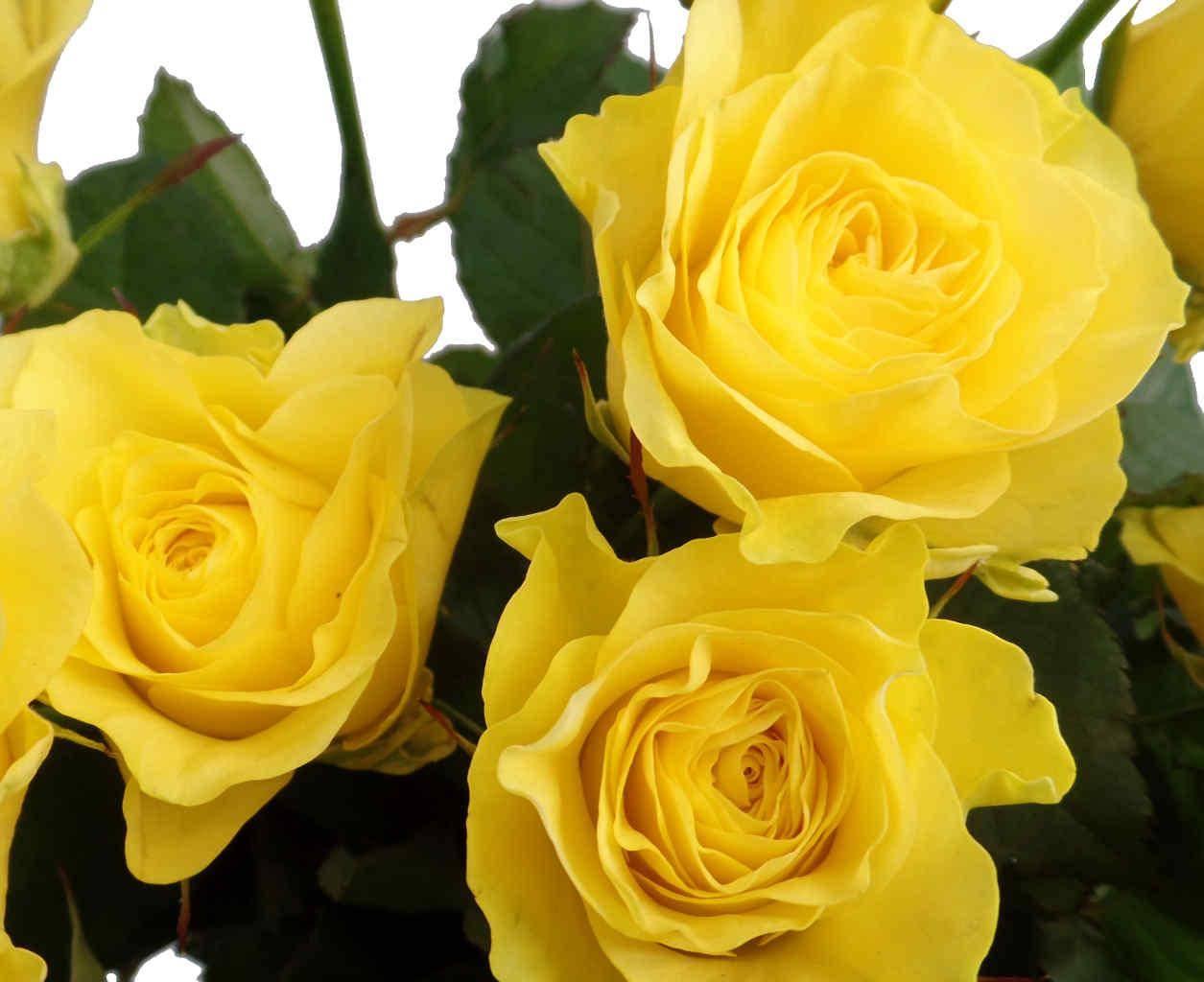 сорта желтых роз с фото и названиями такой комбинации используют