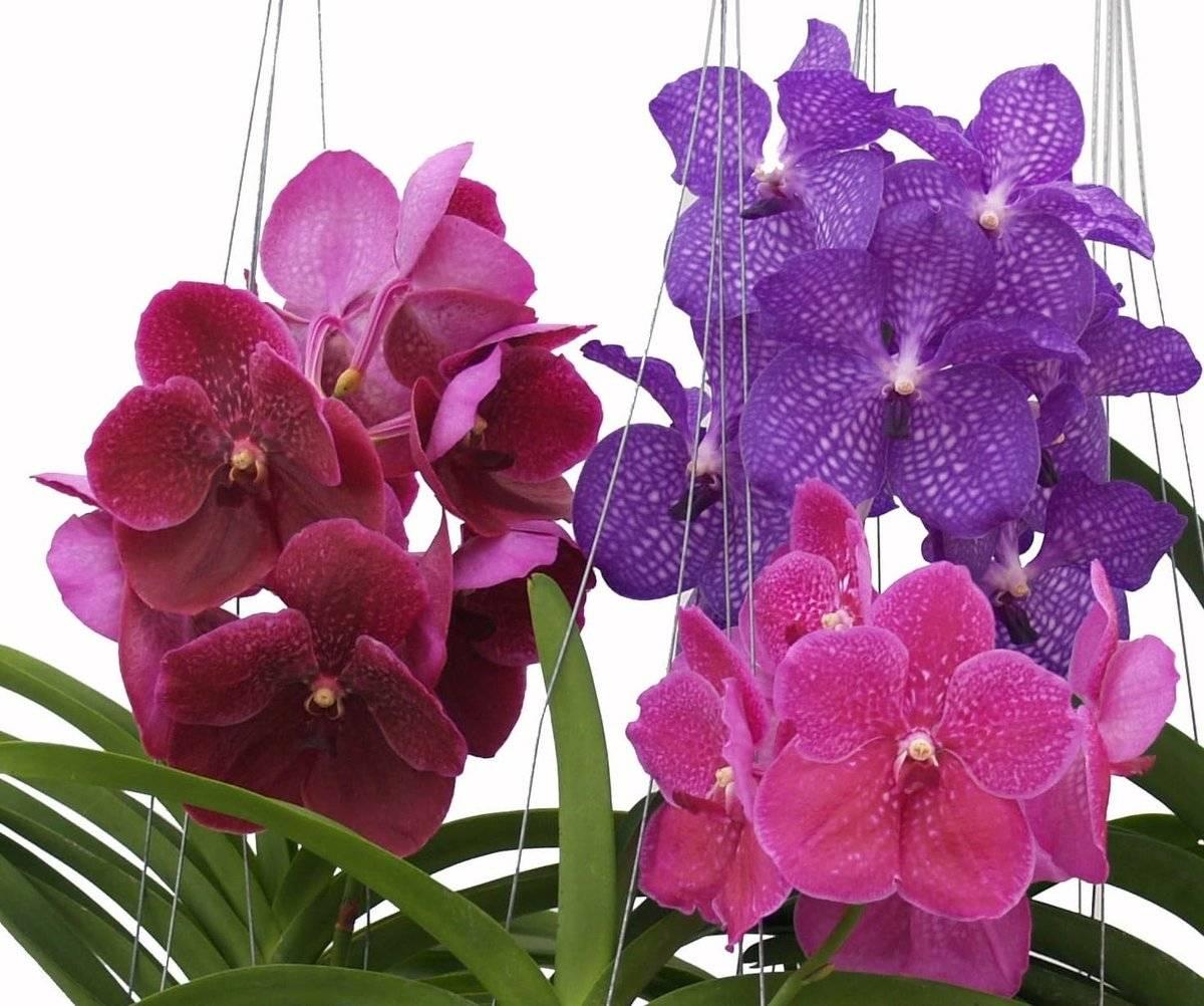 Орхидея Ванда описание посадка и уход в домашних условиях