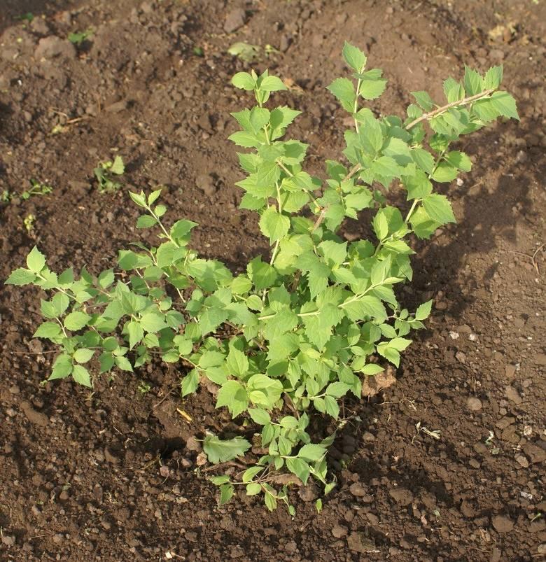 Чубушник сорта садового растения посадка и уход способы размножения